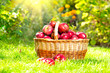 Organic Apples in a Basket outdoor. Orchard