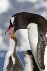 Gentoo penguin female that feeds the chick in the nest on a sunn