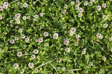 white clover background
