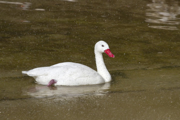 Coscoroba Swan that floats on the lake in a spray of raindrops