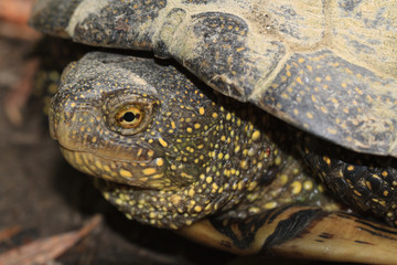 spotted freshwater turtle close up outdoors