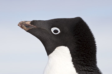Adelie penguin portrait closeup spring day