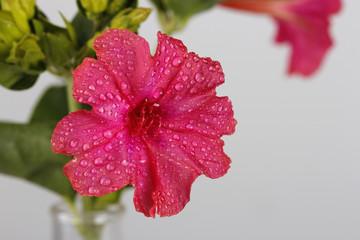 Flor Don Pedro rosa.