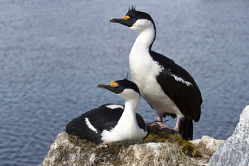 Male and female blue-eyed Antarctic shag at the nest in the colo