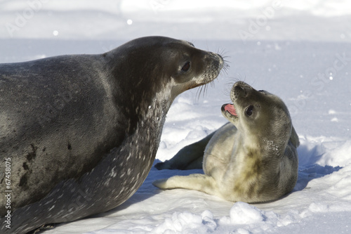 Papiers peints Antarctique female Weddell seal and her pup that growls