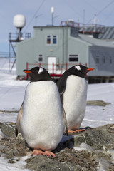male and female Gentoo penguins at the nest on the background of