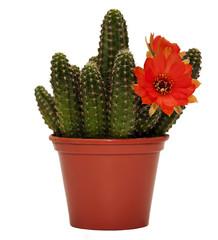 cactus flower c