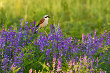 Red-backed shrike on cow vetch