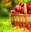 Organic Apples in a Basket Outdoor