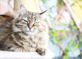 brown tortie tabby mackerel female of siberian cat