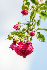 Pink Rose On Blue Sky Background
