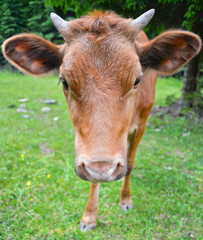 The portrait of young cow on a summer pasture