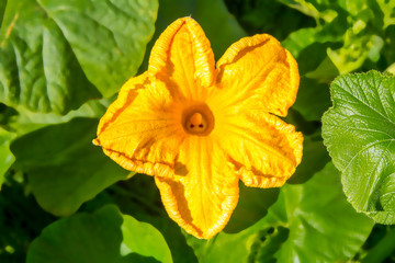 image of yellow pumpkin flower blossom