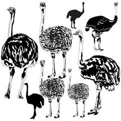 Set of ostrichs