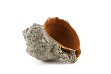 biege sea shell with orange orifice isolated against white backg