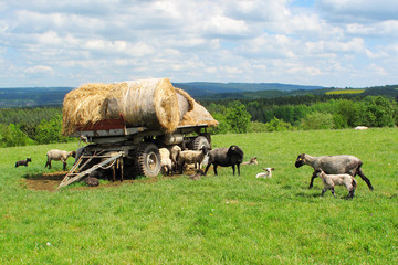 Sheep and lambs on pasture in Brdy, West Bohemia.