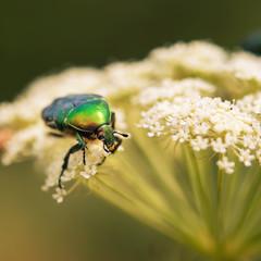 June beetle sitting on a leaf yarrow
