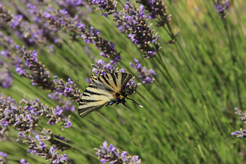 Butterfly on lavender, Papilio machaon