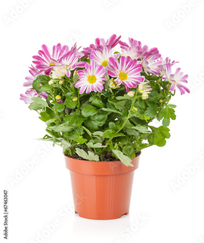 Fotobehang Gerbera Potted flower