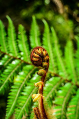Curled  young leaf of fern. Close-up