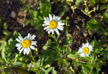 Three field daisy flowers grows, in summer closeup