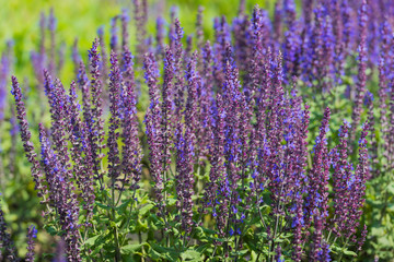 Blue and violet blooming Woodland Sage