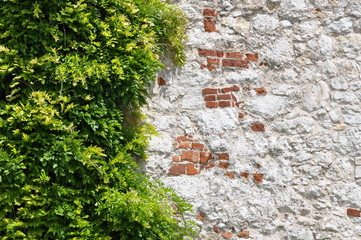 Ivy leaves on wall as natural background