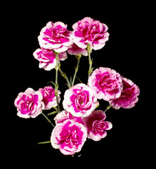 Variegated pink white carnation