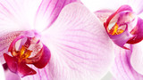 Fototapety beauty pink orchid, abstract floral backgrounds
