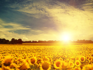 beauty sunflowers under blue skies and golden evening sun, envir