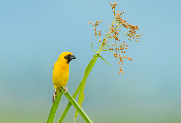 Male Asian golden weaver (Ploceus hypoxanthus) at Petchaburi
