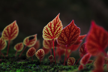 Red leaves of Begonia flowers at National Park Phitsanulok,Thail