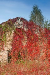 Autumn, ivy-clad ruins of the house