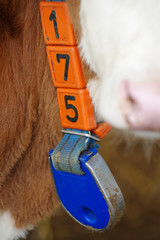 calves details collar