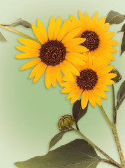Wild sunflower blossoms on vintage green background