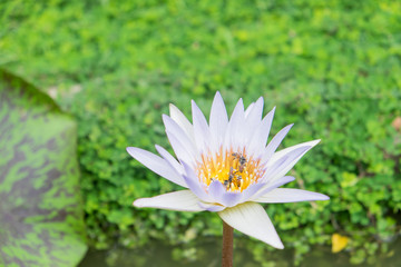 White lotus flowers and bee