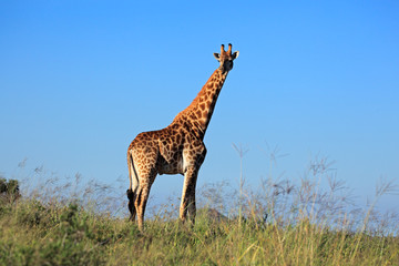 Giraffe bull against a blue sky
