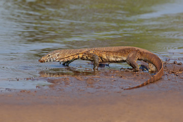 Nile monitor (Varanus niloticus) walking in shallow water