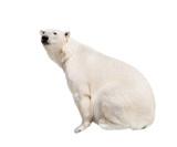 White polar bear.