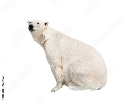 Aluminium Ijsbeer White polar bear.