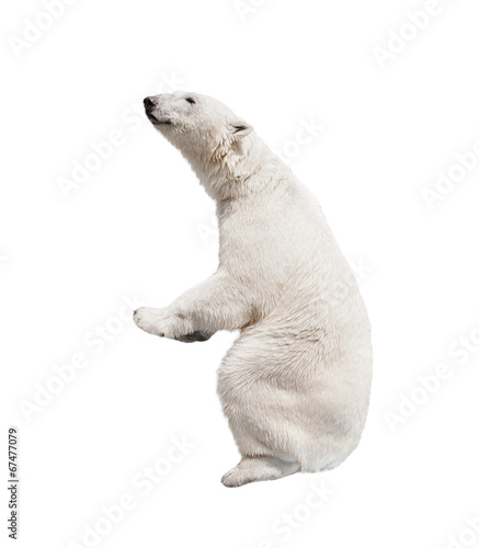 In de dag Ijsbeer White polar bear