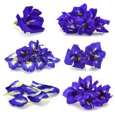 Set of  Butterfly Pea isolated on white background