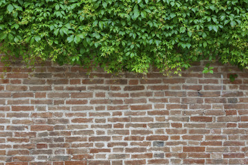 Green Ivy and brown brick wall