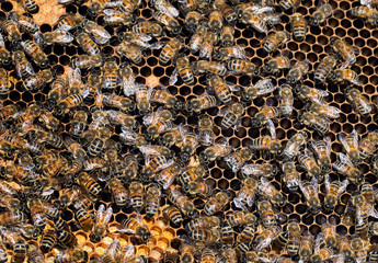 Busy worker bees inside hive, detail
