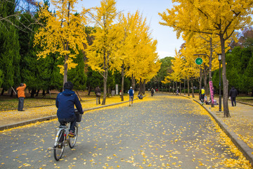 The ginkgo trees at Osaka , Japan