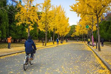 The ginkgo trees at Osaka , Japan