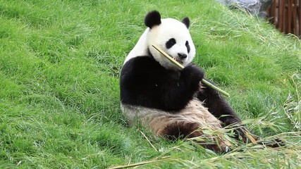 Big panda eating bamboo stalk