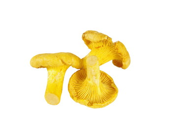 three chanterelle