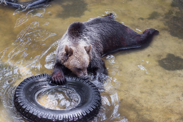 Brown bear playing with a tyre