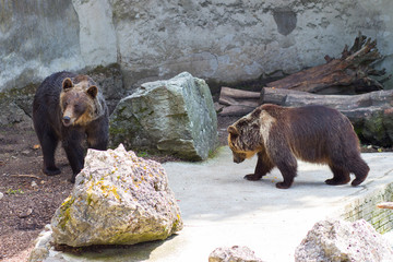 Brown bears detail